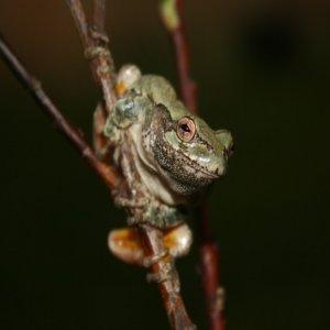 Gray Treefrog Jigsaw Puzzle